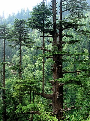 Cedrus deodara - Adult Deodar trees in Himachal Pradesh, India