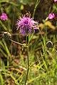 Centaurea scabiosa - Chaber driakiewnik - Greater knapweed (36843481391).jpg