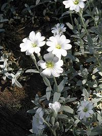 Cerastium tomentosum03