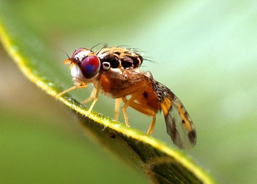 Locals Urged to Keep Up the Good Work on Fruit Fly