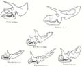 Ceratopsidae AMNH.png