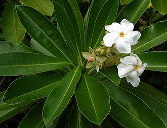 Cerbera odollam - Flowers of Cerbera odollam