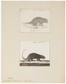 Cercolabes prehensilis - 1700-1880 - Print - Iconographia Zoologica - Special Collections University of Amsterdam - UBA01 IZ20600003.tif