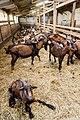 Chèvres ferme du Menez-Hom 06.jpg