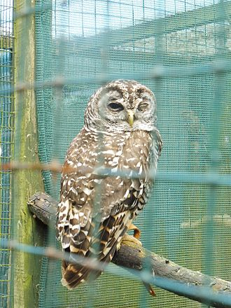 Chaco owl - Bodafon Farm Park, Llandudno (Wales)
