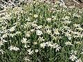 Chaetopappa ericoides 6.jpg