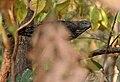 Changeable Hawk Eagle (Spizaetus cirrhatus) in Kawak WS, AP W IMG 2048.jpg