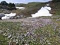 Chartreuse, crocus sous le Col de l'Alpe - IMG3950.jpg