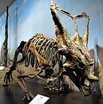 A skeleton of a dinosaur.