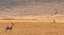 Gazelle und Gepard