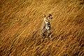 Cheetah Standing Tall.jpg