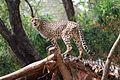 Cheetah at Nehru Zoological park, Hyd.jpg