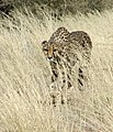 Cheetah in Namibia.jpg