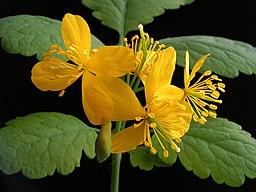 fleurs jaune de la chelidoine