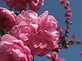 Cherry blossom (7056350761).jpg