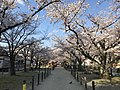 Cherry blossoms near Zasshonokuma Station 20190401-4.jpg