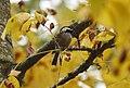 Chestnut-backed Chickadee (43804455600).jpg