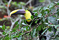 Chestnut-mandibled Toucan (6901547278).jpg