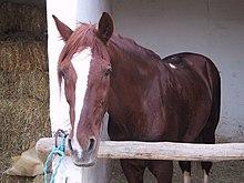 الخيول البربرية