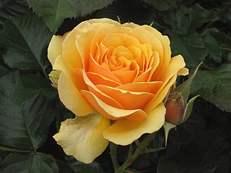 Garden roses - An amber-colored rose