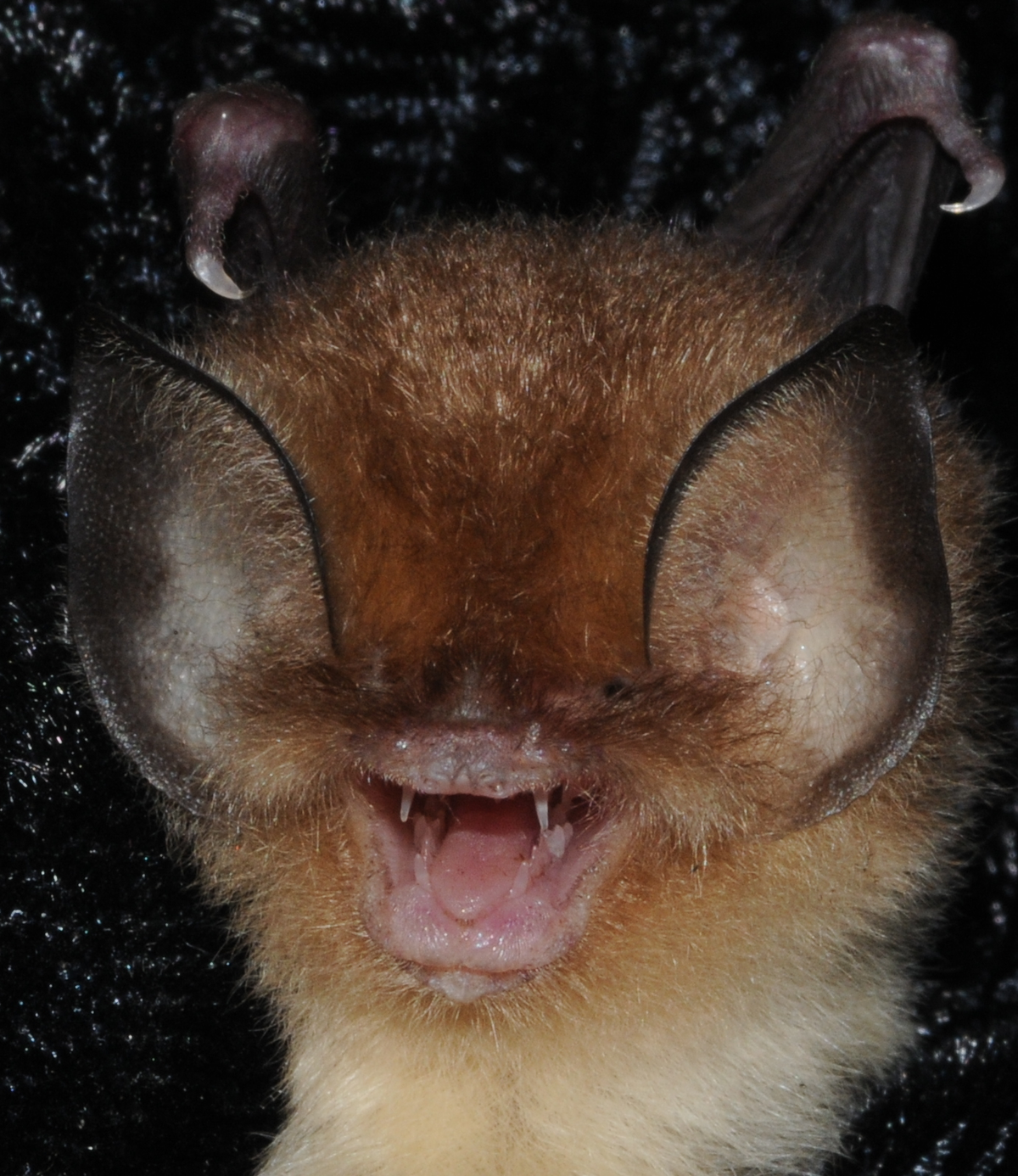 Cuban funnel-eared bat - Wikipedia