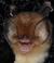 Chilonatalus micropus.png