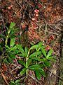 Chimaphila umbellata 3.jpg