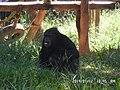 Chimpanzé Zoo-Botânica de Belo Horizonte.jpg