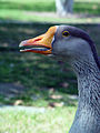 Chinese goose, head, female.jpg