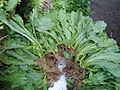 Chinese vegetable 023.jpg