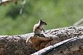 Chipmunk in the Ruby Mountains.JPG