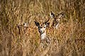 Chital (spotted deer) In Nepal.jpg