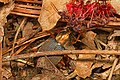 Chlaenius species Beetle, Merrimac Farm Wildlife Management Area, Aden Virginia.jpg
