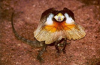 Deimatic behaviour - Frilled lizard faces predators, making itself look big with head frills, raising its body and waving its tail.