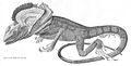 Chlamydosaurus kingii engraving by Mr. Curtis 1827.jpg