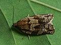Choristoneura murinana - Листовёртка-толстушка пихтовая (28119615137).jpg