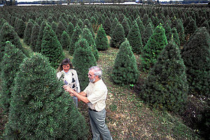 Christmas tree pests and weeds - An entomologist checks Scots pine for pine shoot beetles at a Christmas tree farm near East Lansing, Michigan.
