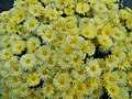 Chrysanthemum-my click.jpg