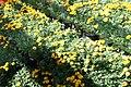 Chrysanthemum Fiotto 1zz.jpg