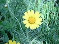 Chrysanthemum coronarium.jpg