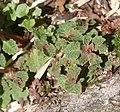 Chrysosplenium nagasei (leaf s3).jpg