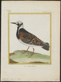 Cinclus interpres - 1700-1880 - Print - Iconographia Zoologica - Special Collections University of Amsterdam - UBA01 IZ17300025.tif
