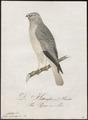 Circus cyaneus - 1800-1812 - Print - Iconographia Zoologica - Special Collections University of Amsterdam - UBA01 IZ18300197.tif
