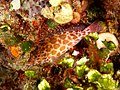 Cirrhitichthys aprinus (Threadfin hawkfish).jpg