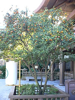 Citrus aurantium chinotto1.jpg