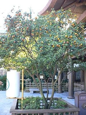 Daidai - Image: Citrus aurantium chinotto 1