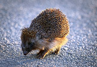 City hedgehog (17928037511).jpg