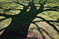 City of London Cemetery - lawn tree shadow.jpg