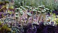 Cladonia asahinae. (pixie cup lichen) (48228500117).jpg