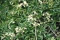 Clematis ligusticifolia 1211072 3x2.jpg